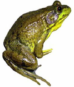 Frogs12