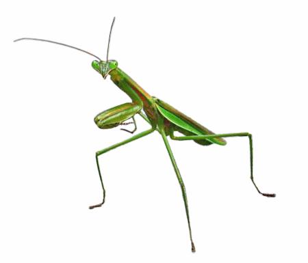 Praying-Mantis-01