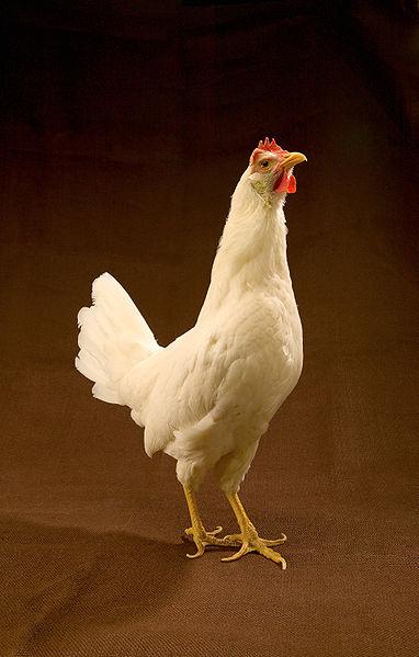 382px-ARS-White_Leghorn_hen