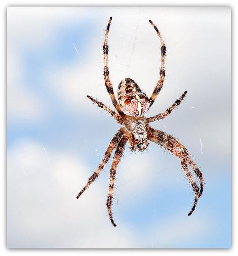 Araneus_diadematus_(Clerck_1757)_470