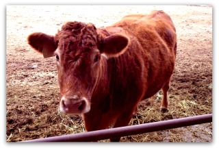 Cow45