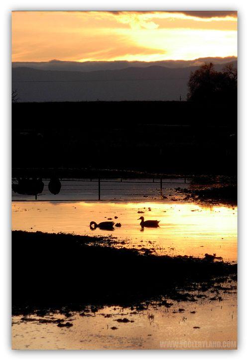 Ducks4_1200
