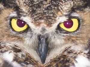Owl_face