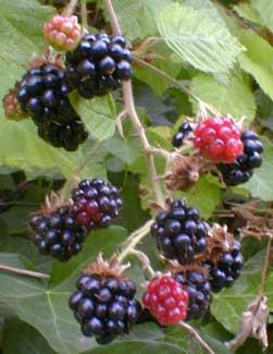 Himalayagiantblackberry