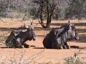Resting_wildebeest